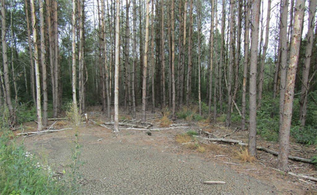 В Лидском районе сброс сточных вод привел к усыханию деревьев
