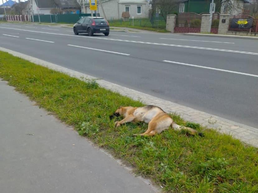 В Лиде волонтеры бьют тревогу: хозяин выволок свою мертвую собаку прямо на тротуар